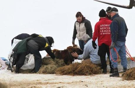 In Framingham on Tuesday, rescue workers comforted an injured cow after a barn collapsed.